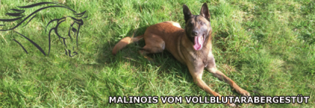 Malinois vom Vollblutarabergestüt